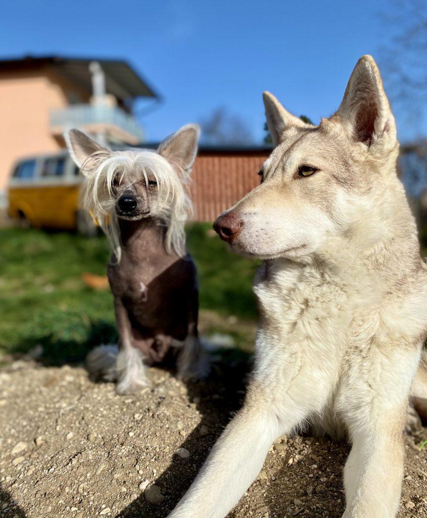 Néisha (Saarlosswolfhund) Tunis (Chineses Crested)